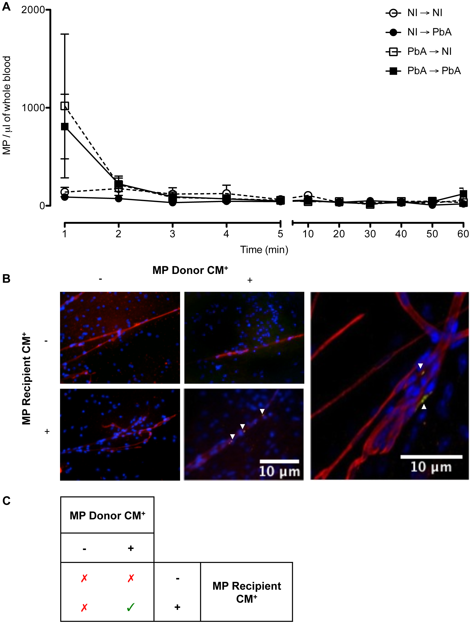 Detection, clearance, and tissue distribution of MP following adoptive transfer.