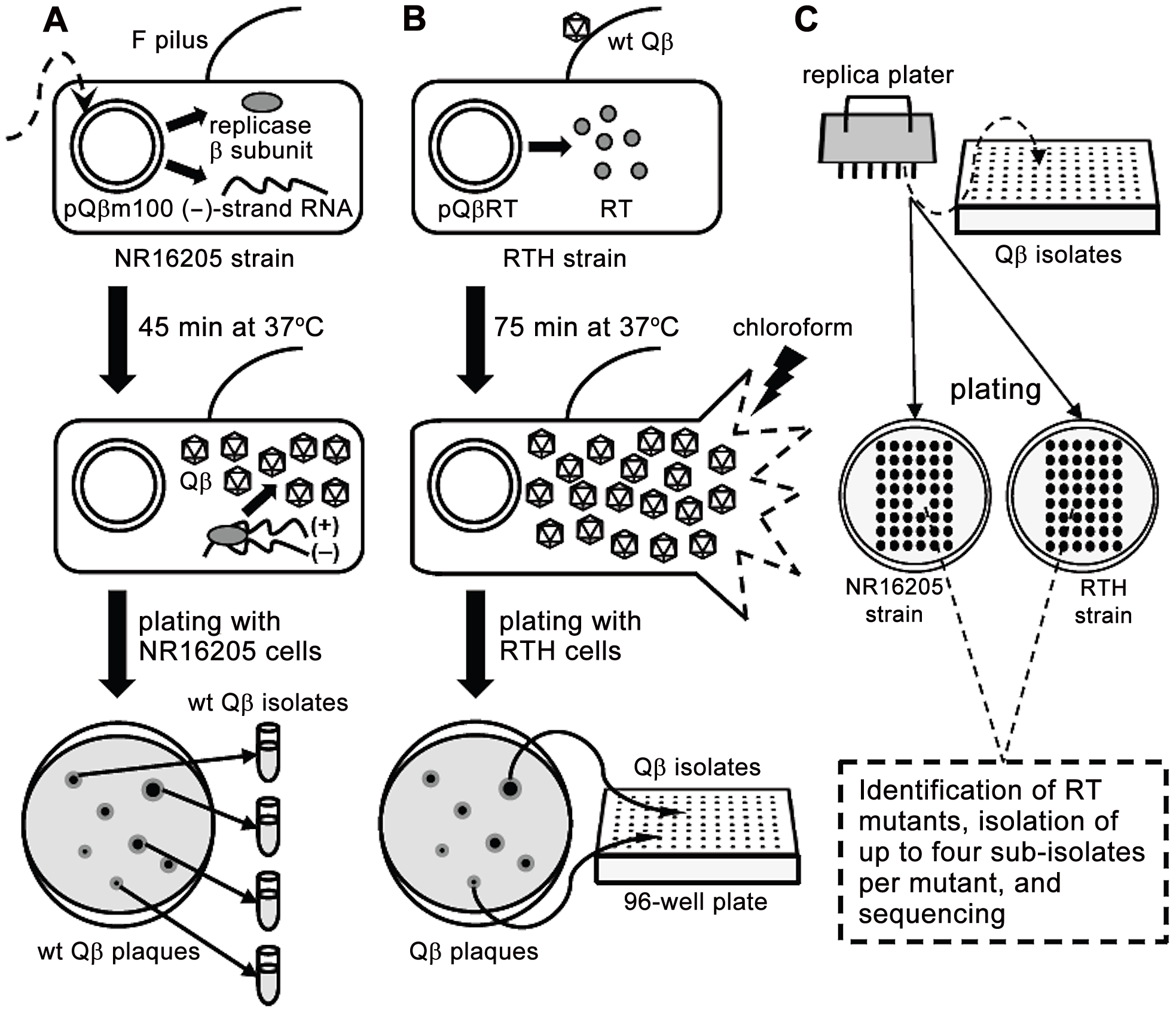 Schematic representation of the experimental system used to isolate <i>RT</i> mutants.