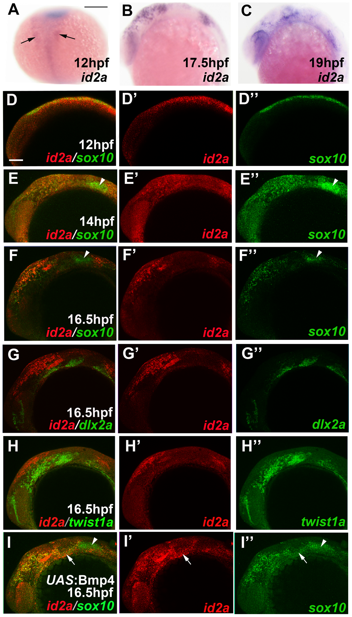 <i>id2a</i> is regulated by Bmps and excluded from the ectomesenchyme.