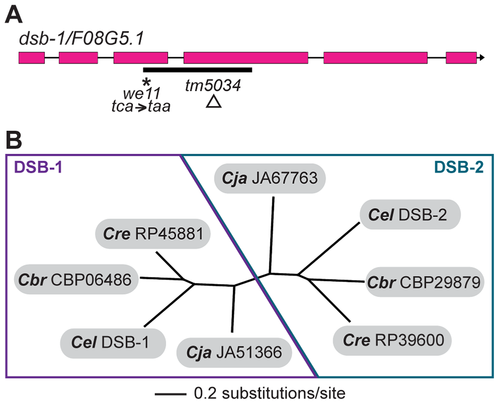<i>dsb-1</i> is a novel gene that belongs to a poorly conserved gene family.
