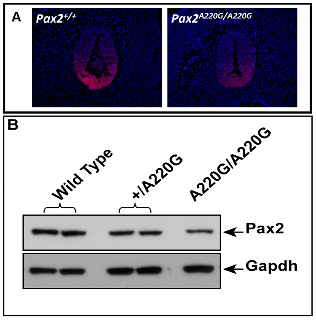 Comparison of wild-type and mutant Pax2 expression in embryonic mouse tissue.