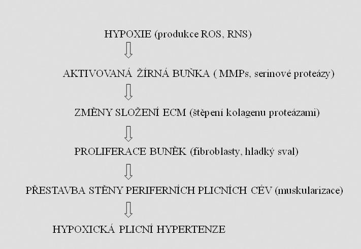 Schéma 1. Rozvoj hypoxické plicní hypertenze