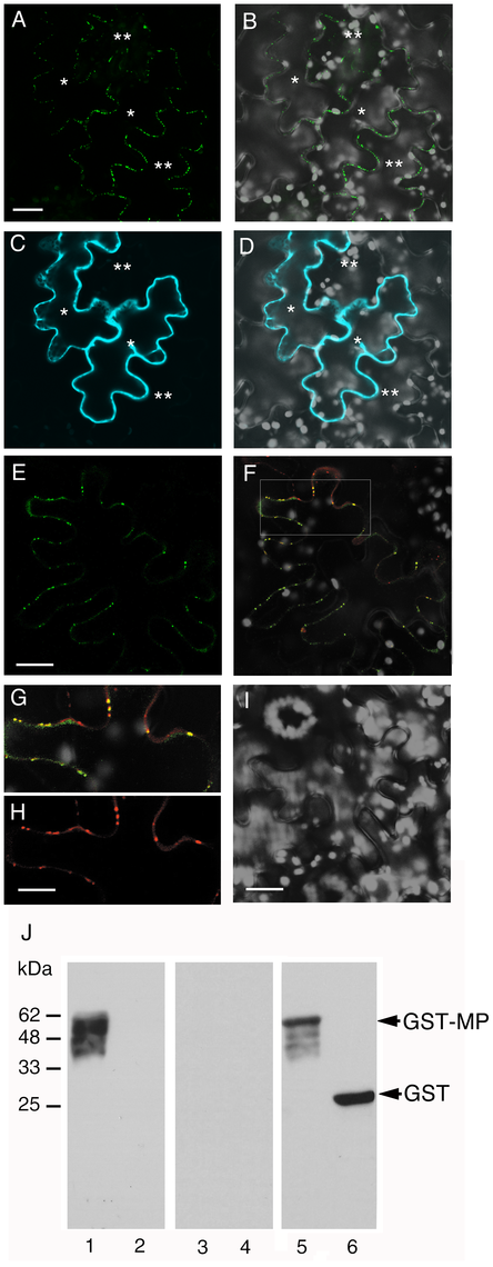 Subcellular localization of MP and ANK and interaction between MP and ANK <i>in planta</i> and <i>in vitro</i>.