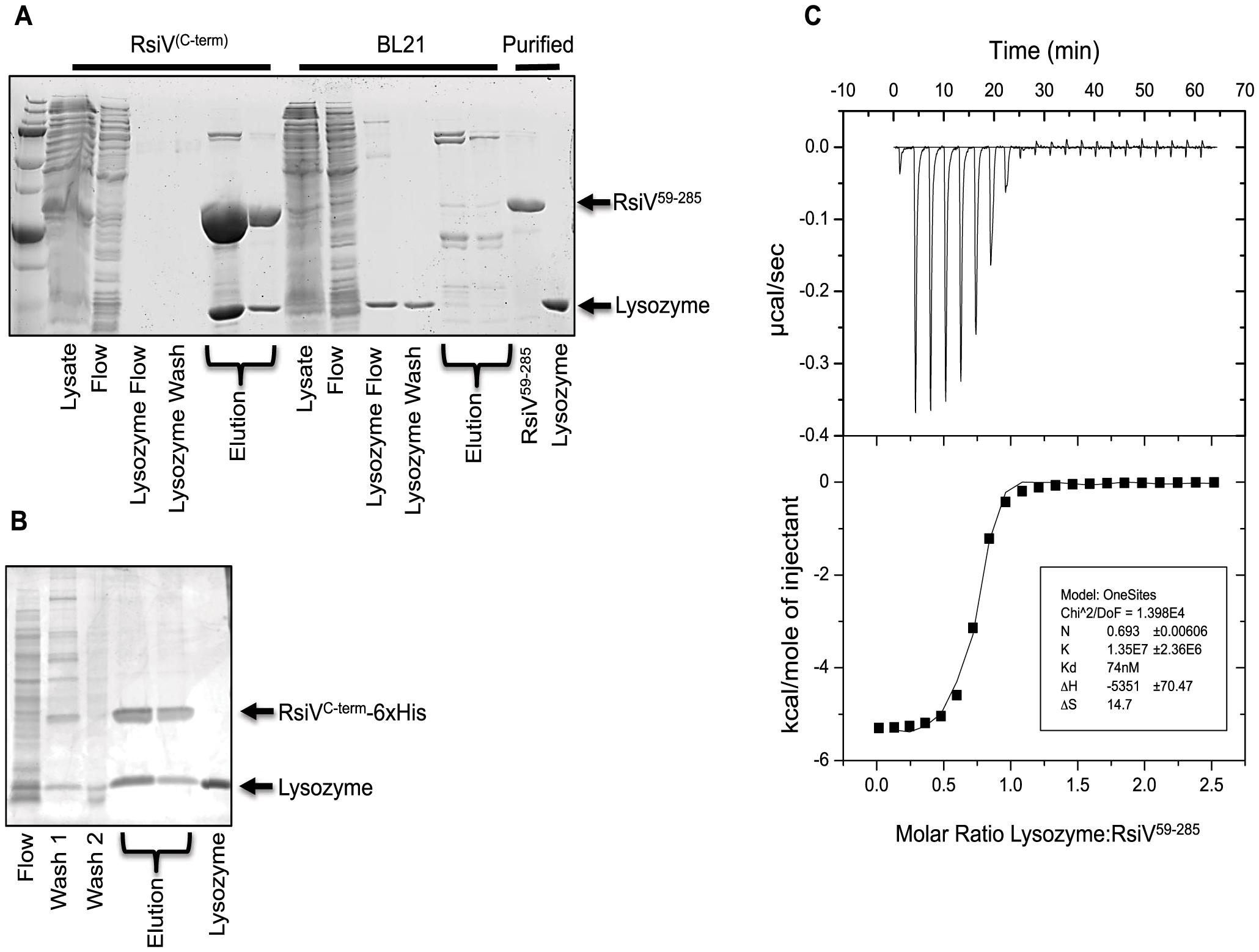 RsiV directly binds lysozyme.