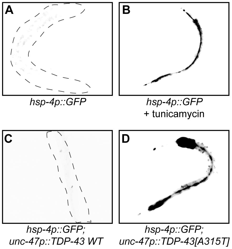 Mutant TDP-43 induces HSP-4/BiP expression.