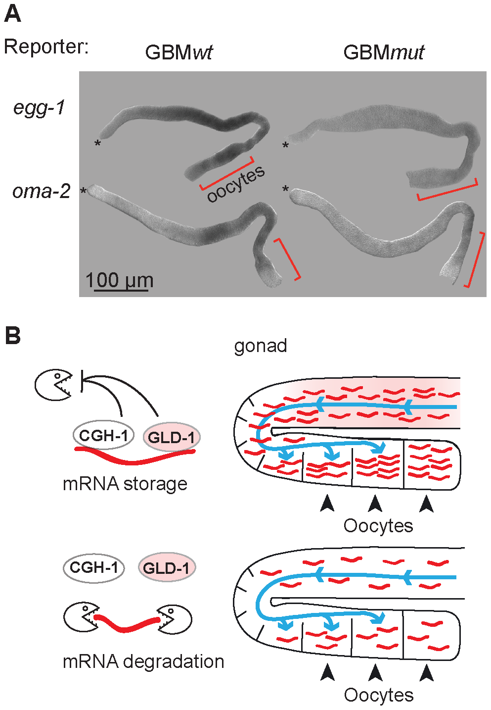 GLD-1 and CGH-1 co-regulated mRNAs accumulate in oocytes.