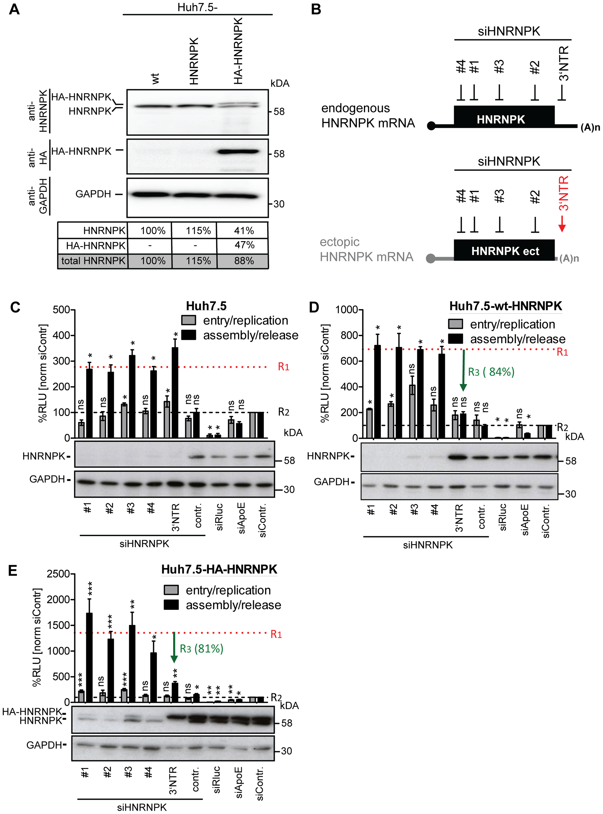 Ectopic expression of HNRNPK restores suppression of virus production in HNRNPK-silenced cells.
