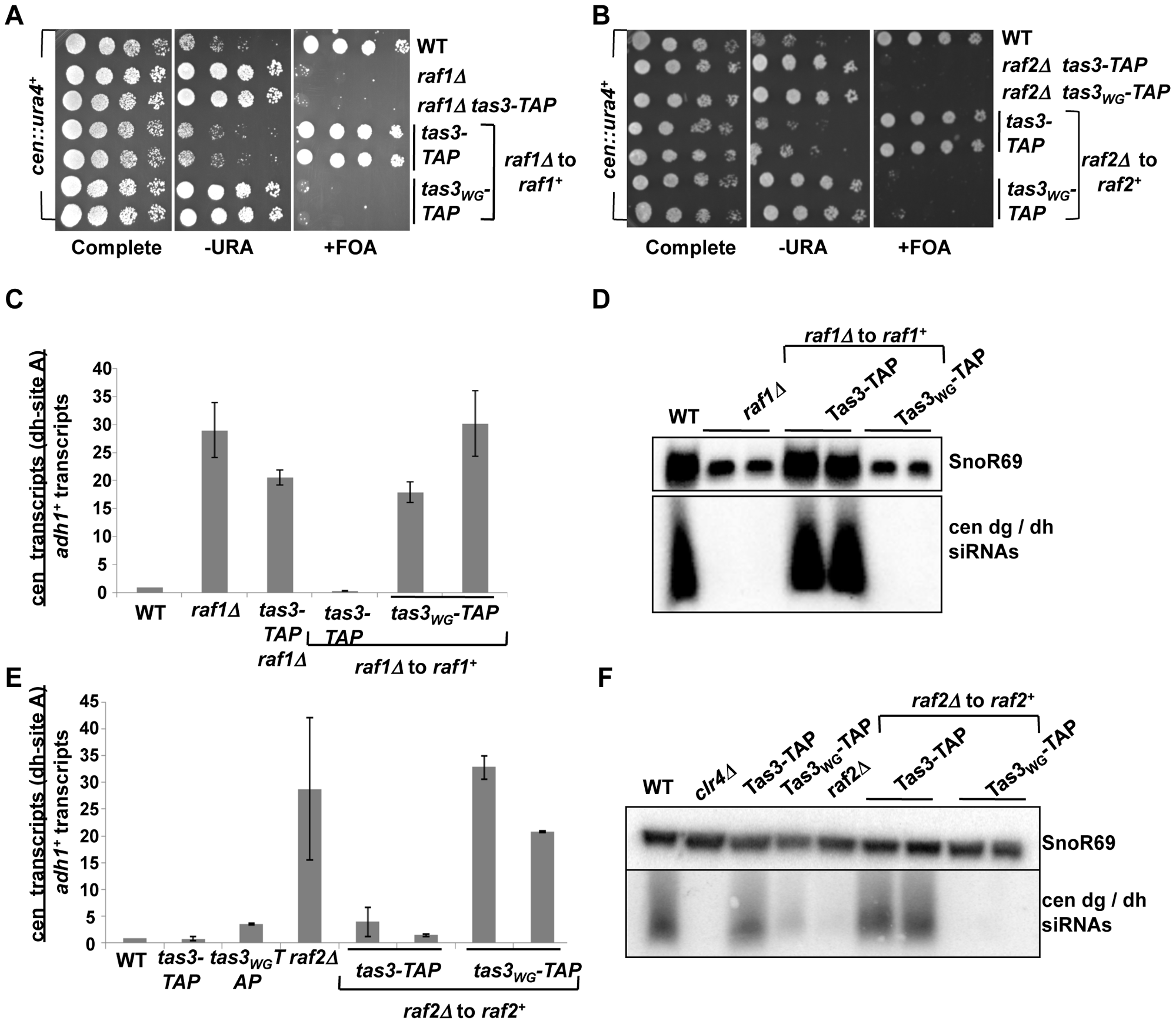 Clr-C components <i>raf1<sup>+</sup></i> and <i>raf2<sup>+</sup></i> facilitate establishment of repressive centromeric heterochromatin.
