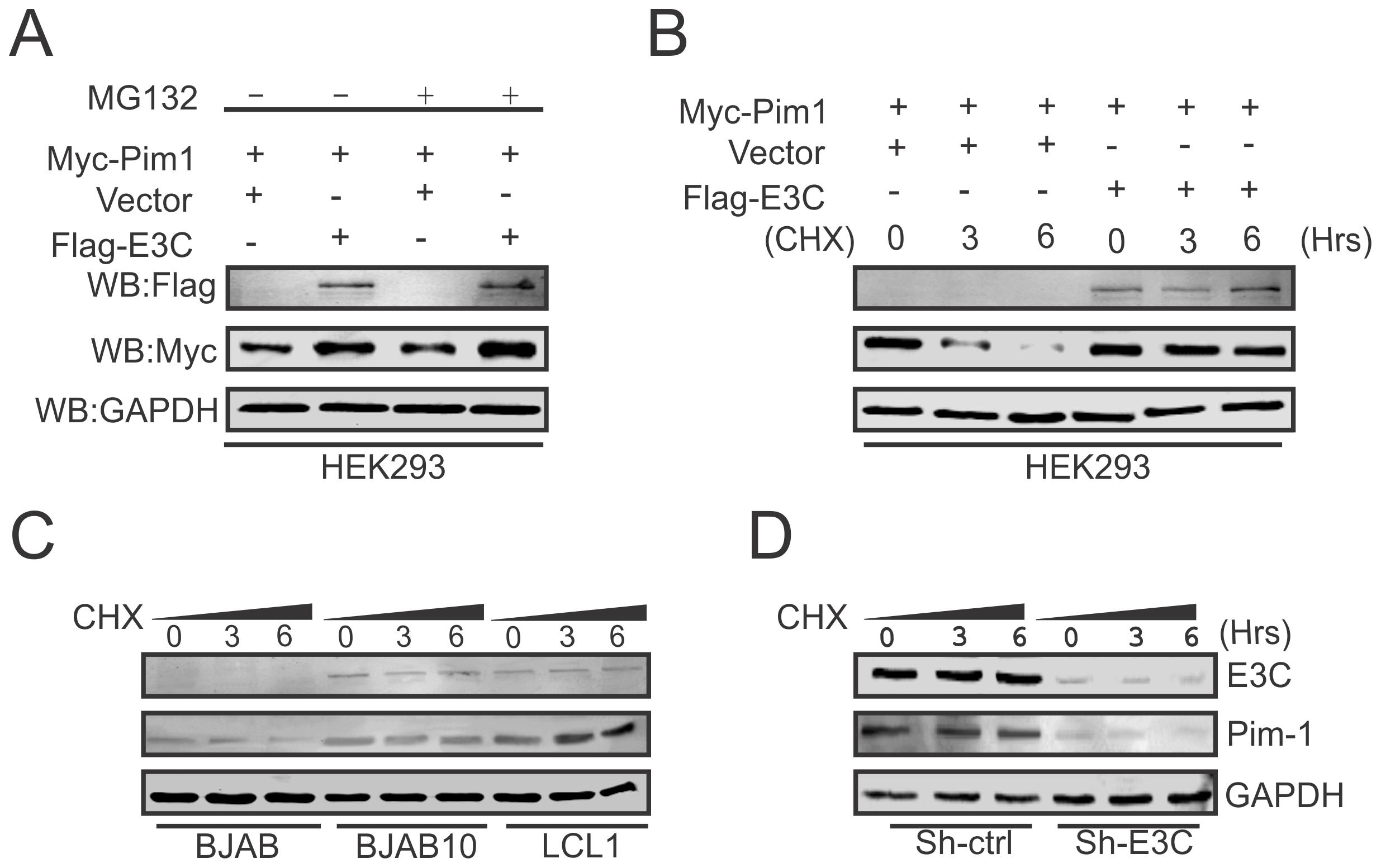 EBNA3C contributes to Pim-1 stabilization.