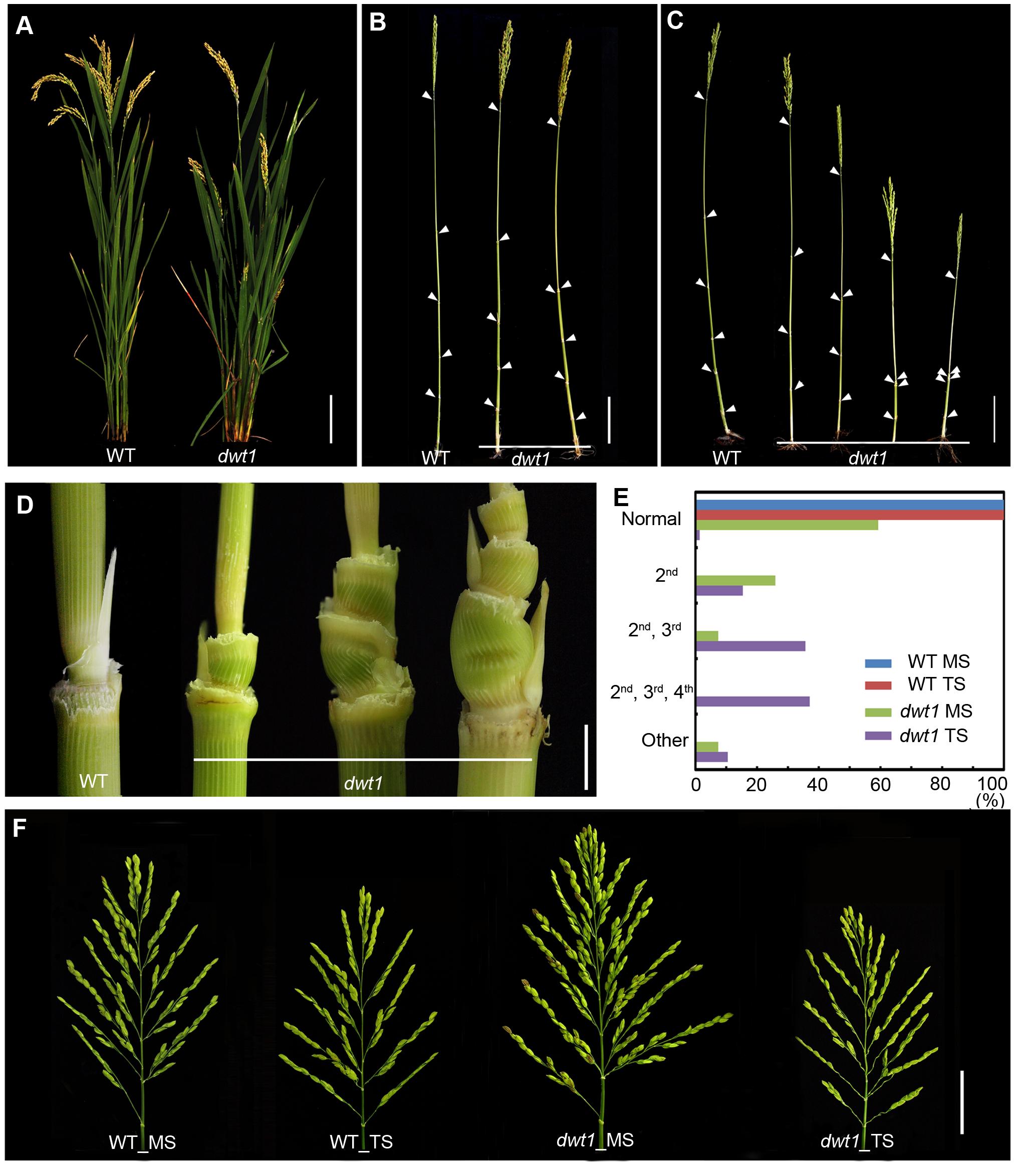 The <i>dwt1</i> mutant plants display morphological defects.