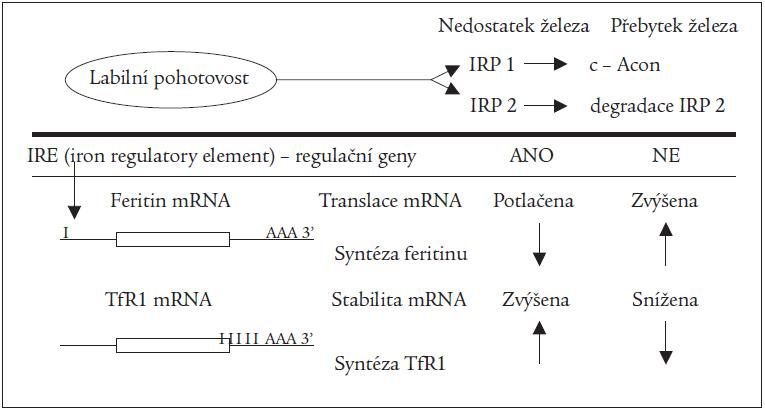 Schéma 1. Regulace translace feritinu a transferinového receptoru 1 (TfR1) prostřednictvím IRPs.
