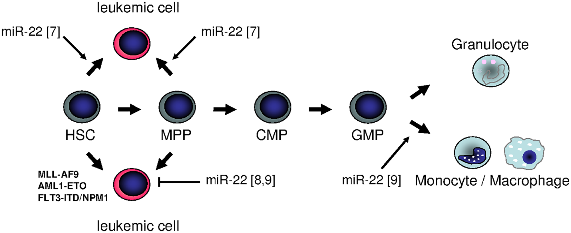 Summary of different functions of miR-22 in hematopoiesis: is miR-22 an oncogenic tumor suppressor or rather a tumor-suppressive oncogene?