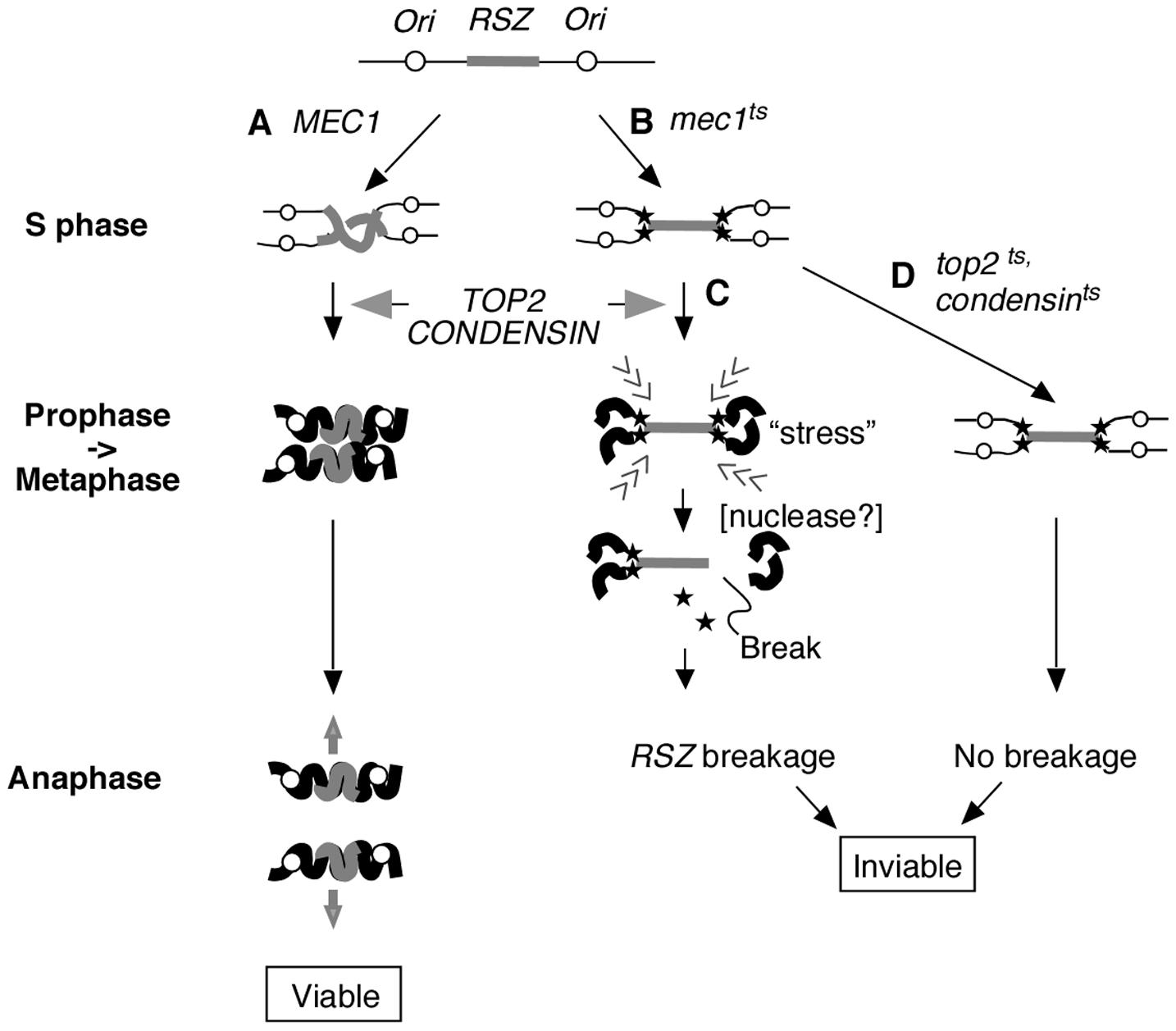Proposed mechanism of <i>RSZ</i> breakage.