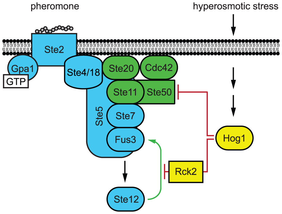 Model of Hog1 pathway cross-inhibition.