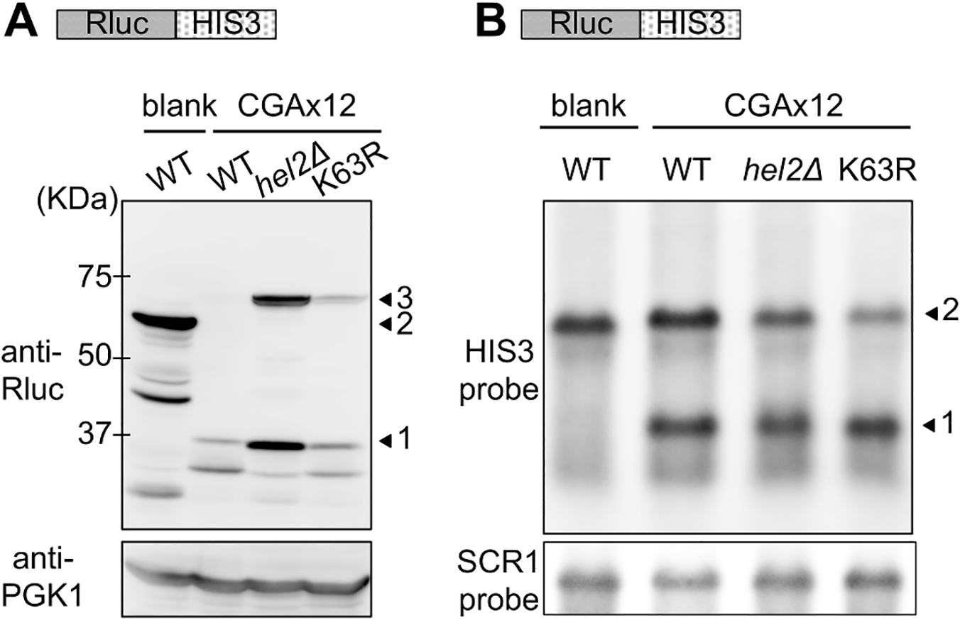 Comparison of the effects of Hel2 deletion and K63R expression on protein and mRNA levels in stalled translation.