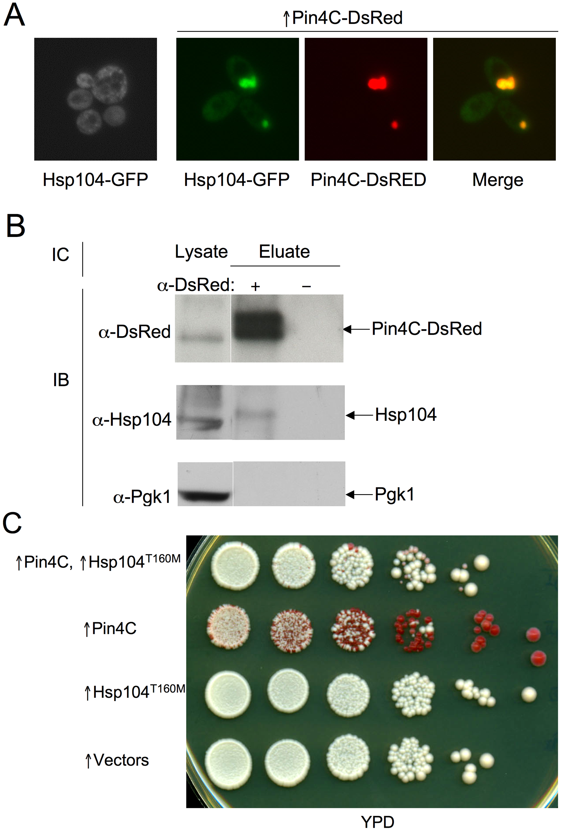 Overexpressed Pin4C sequesters Hsp104 from the cytoplasm.