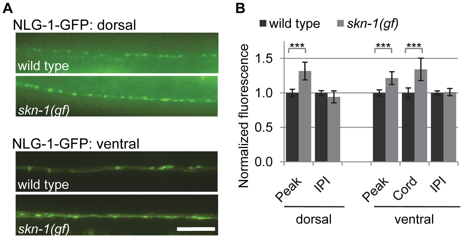 Synaptic NLG-1 levels are regulated by SKN-1.