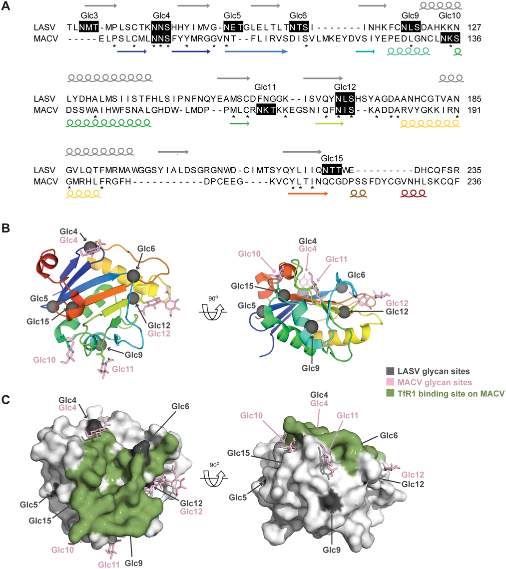 Mapping LASV GP-1 N-linked glycan sequons onto the structure of MACV GP-1.