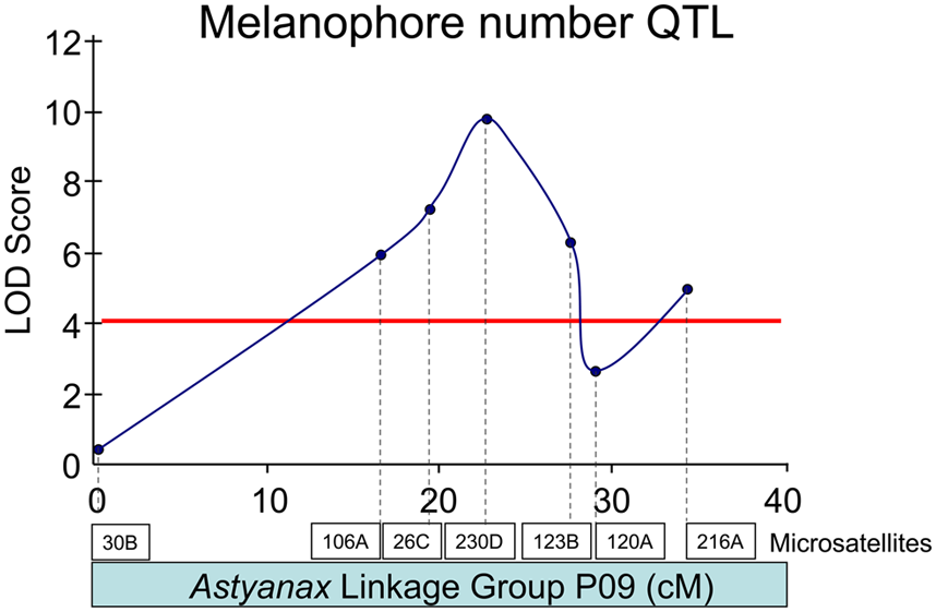 A melanophore number QTL resides on <i>Astyanax</i> linkage group P09.