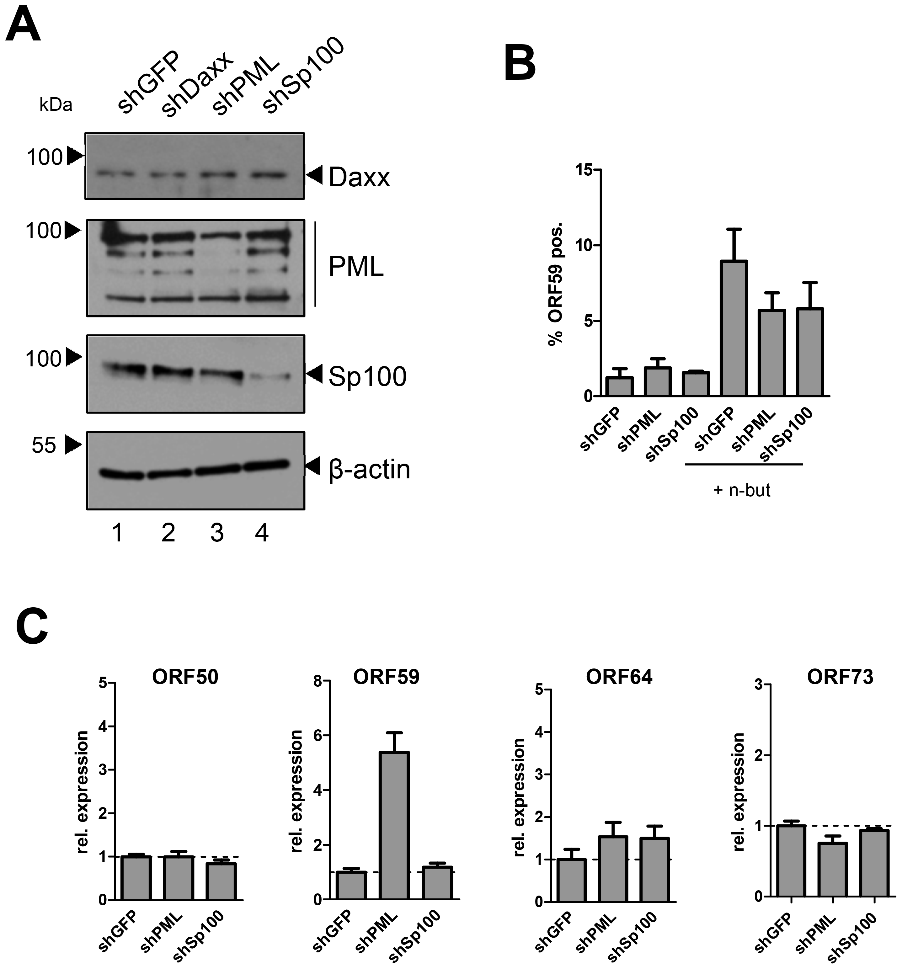 Depletion of PML or Sp100 does not interfere with latency establishment in HUVEC cells.