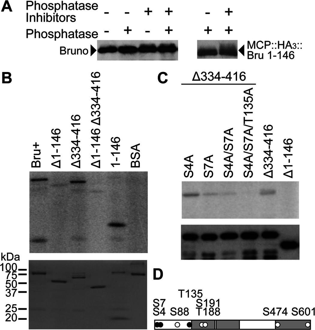 PKA phosphorylates Bru in the amino-terminal domain and Bru phosphosilent mutations disrupt phosphorylation by PKA.