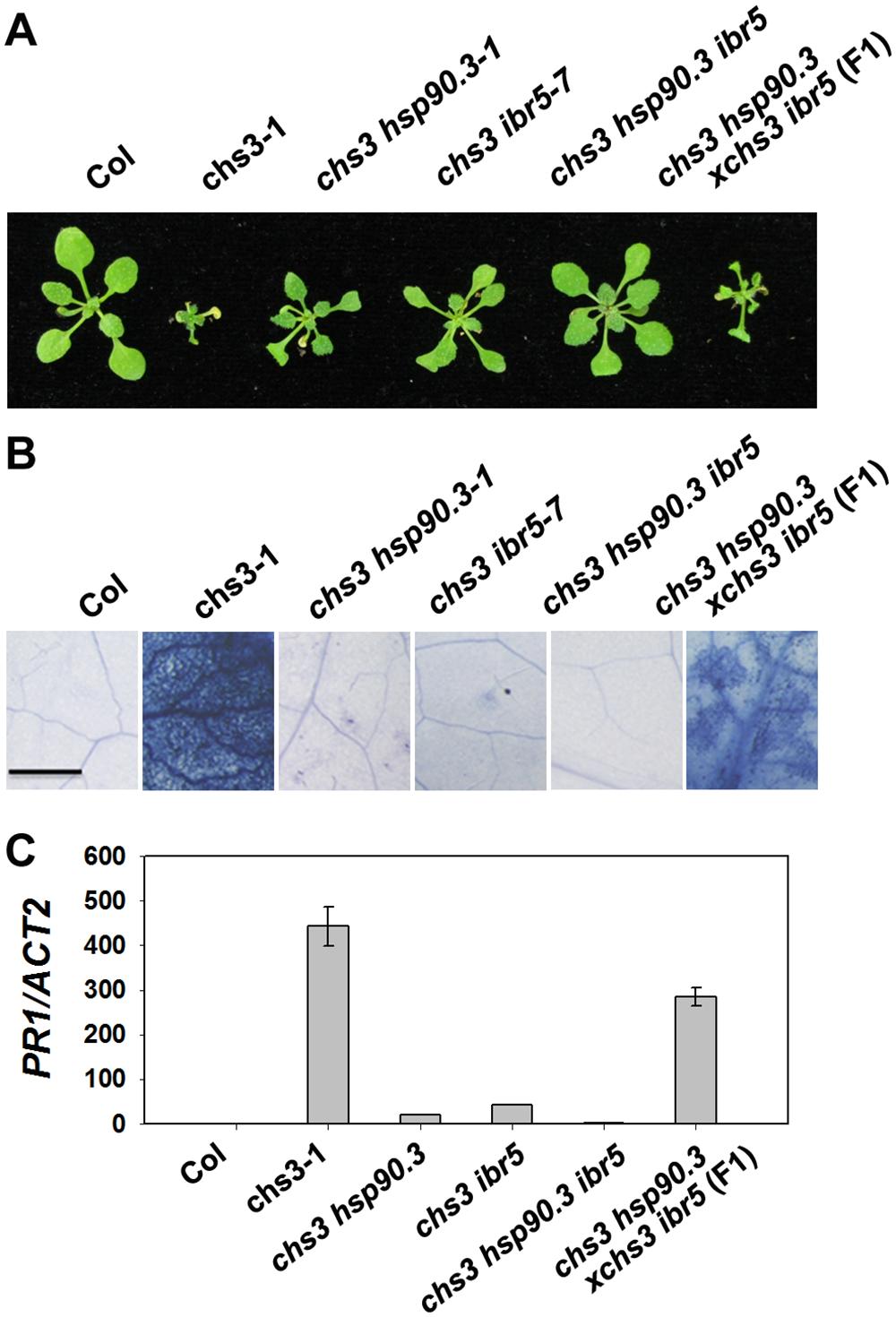 Genetic analysis of <i>CHS3</i>, <i>IBR5</i> and <i>HSP90</i>.<i>3</i>.
