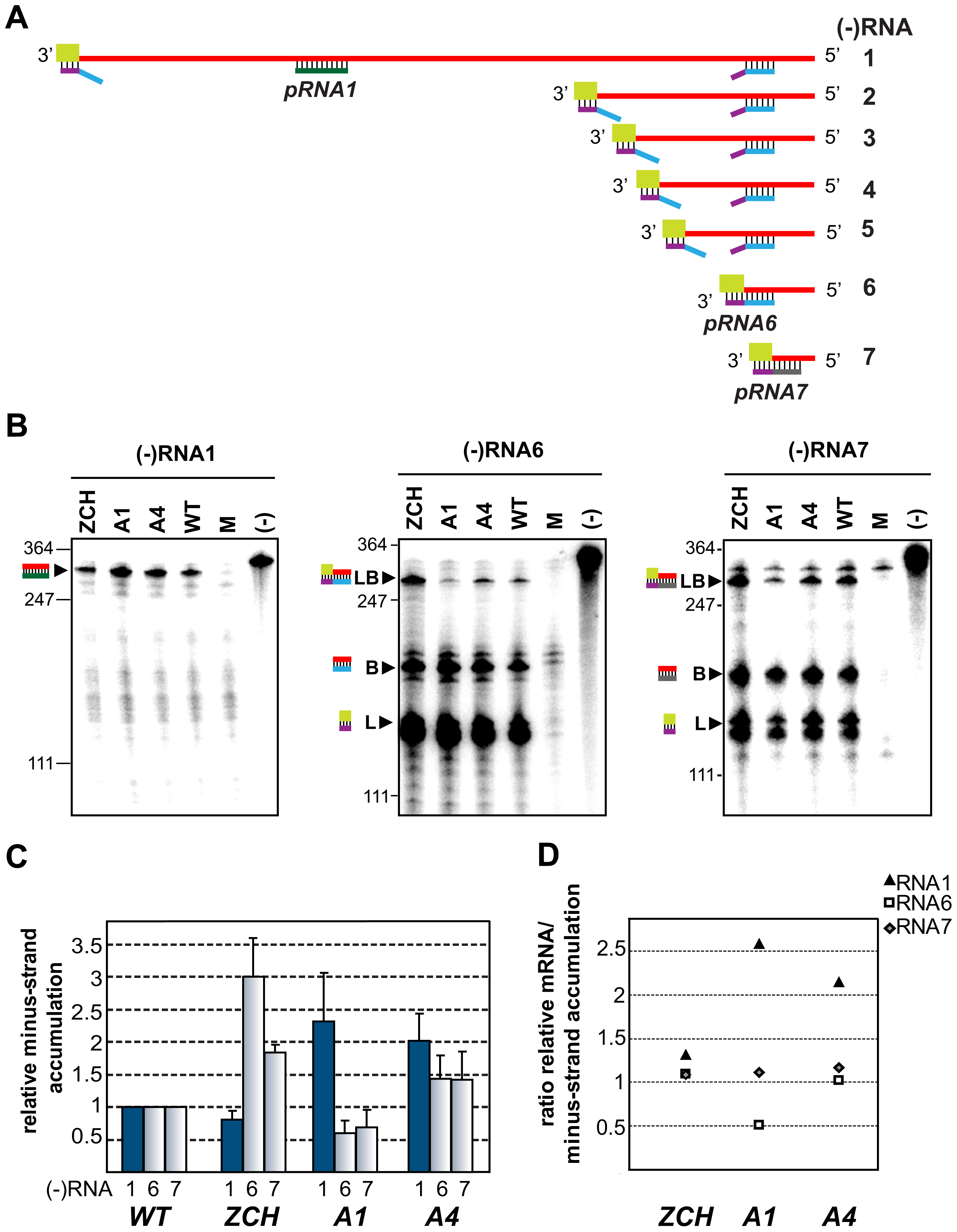 Minus-strand RNA accumulation is also modulated by mutations in nsp1.
