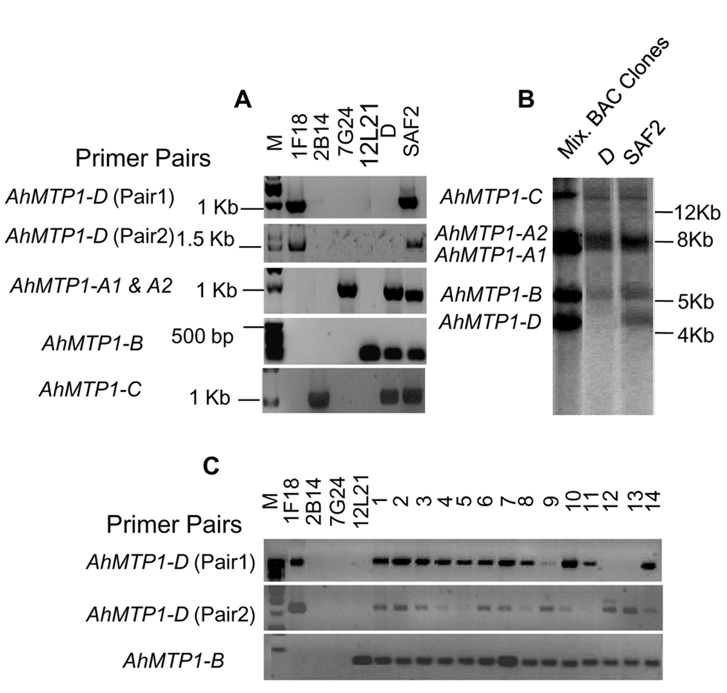 Analysis of the presence of the <i>MTP1-D</i> paralogue in different <i>A. halleri</i> genotypes.