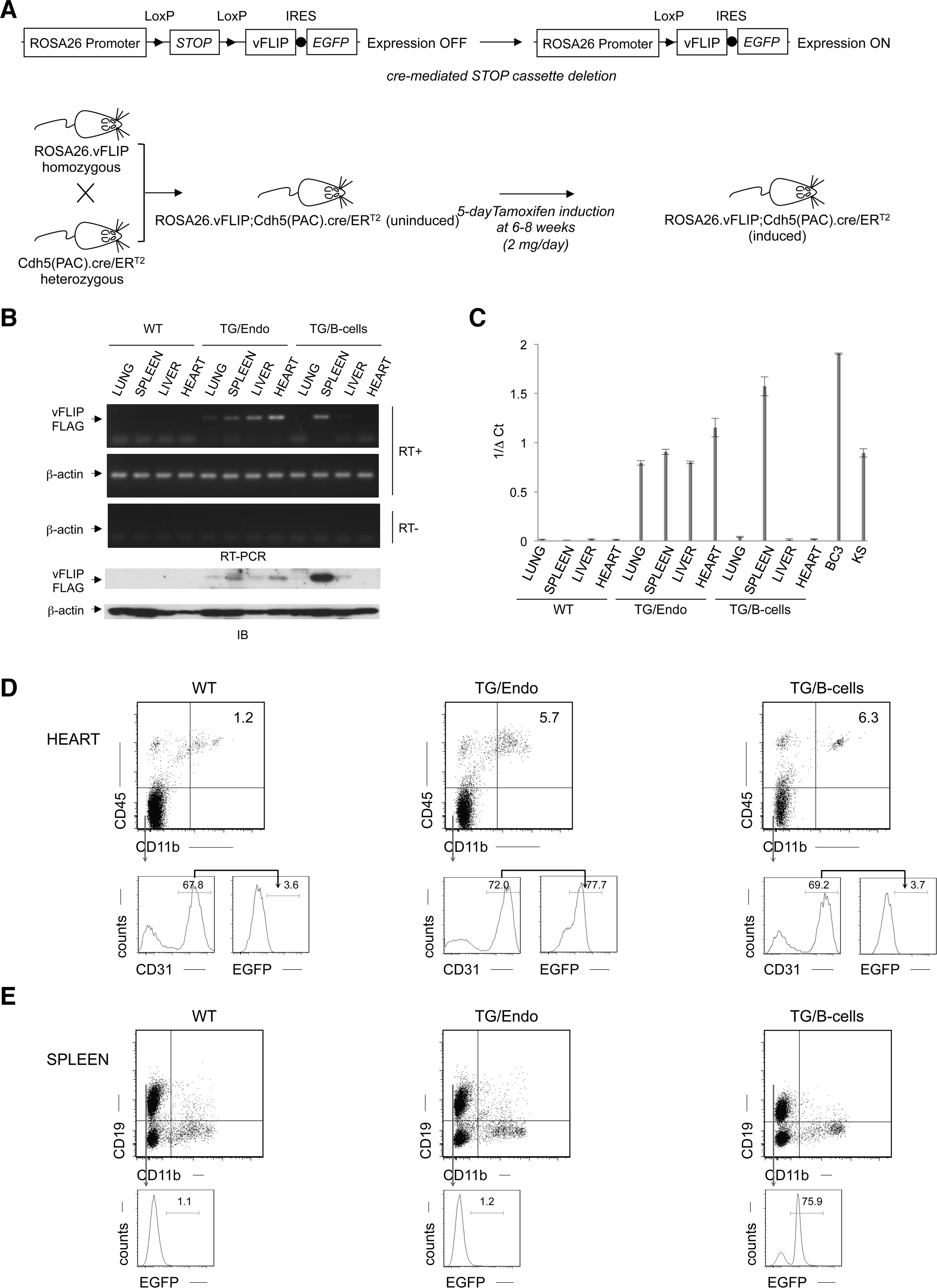 Generation of ROSA26.vFLIP;Cdh5(PAC).creER<sup>T2</sup> mice.