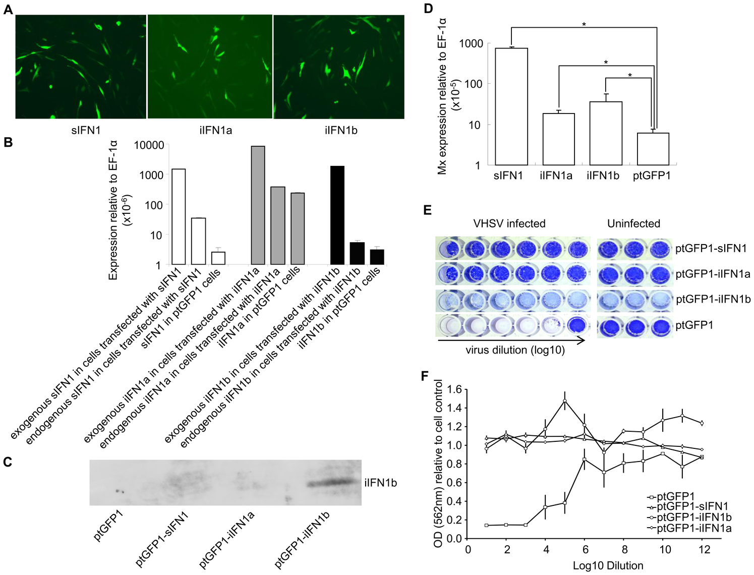 Overexpression of iIFN1a and iIFN1b in RTG-2 cells enhances resistance to viral infection.