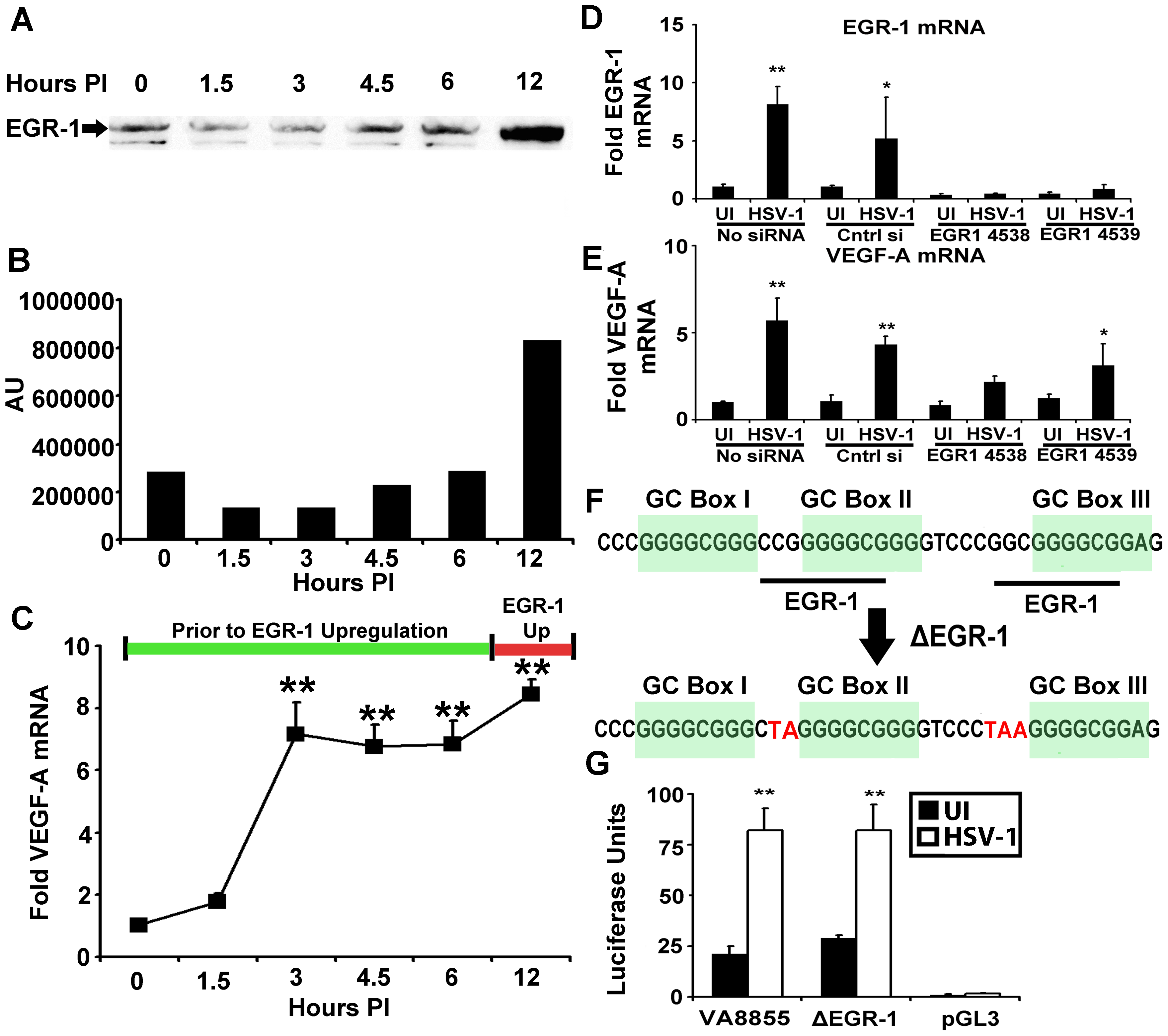 EGR-1 is not required for VEGF-A Upregulation.