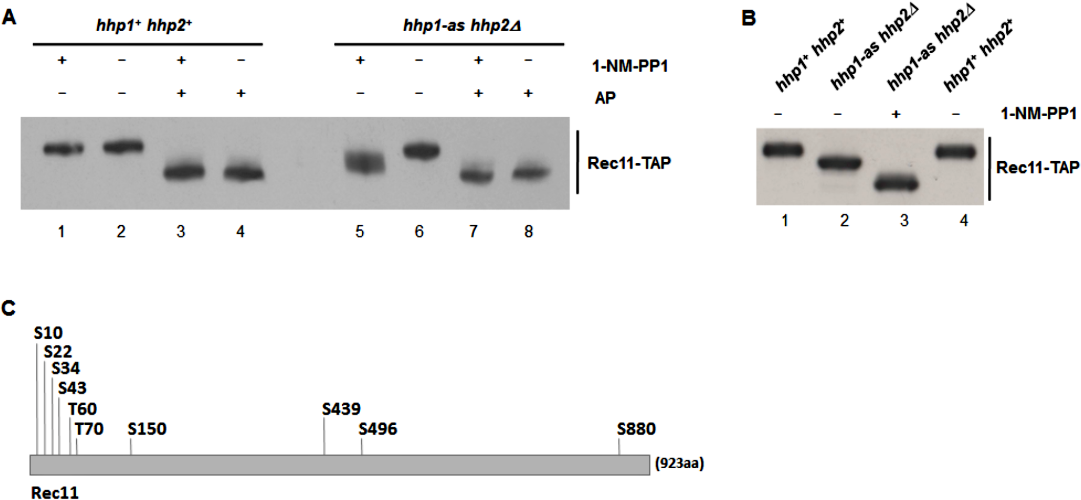 Rec11 is phosphorylated during meiosis, at least partially dependent on Hhp.