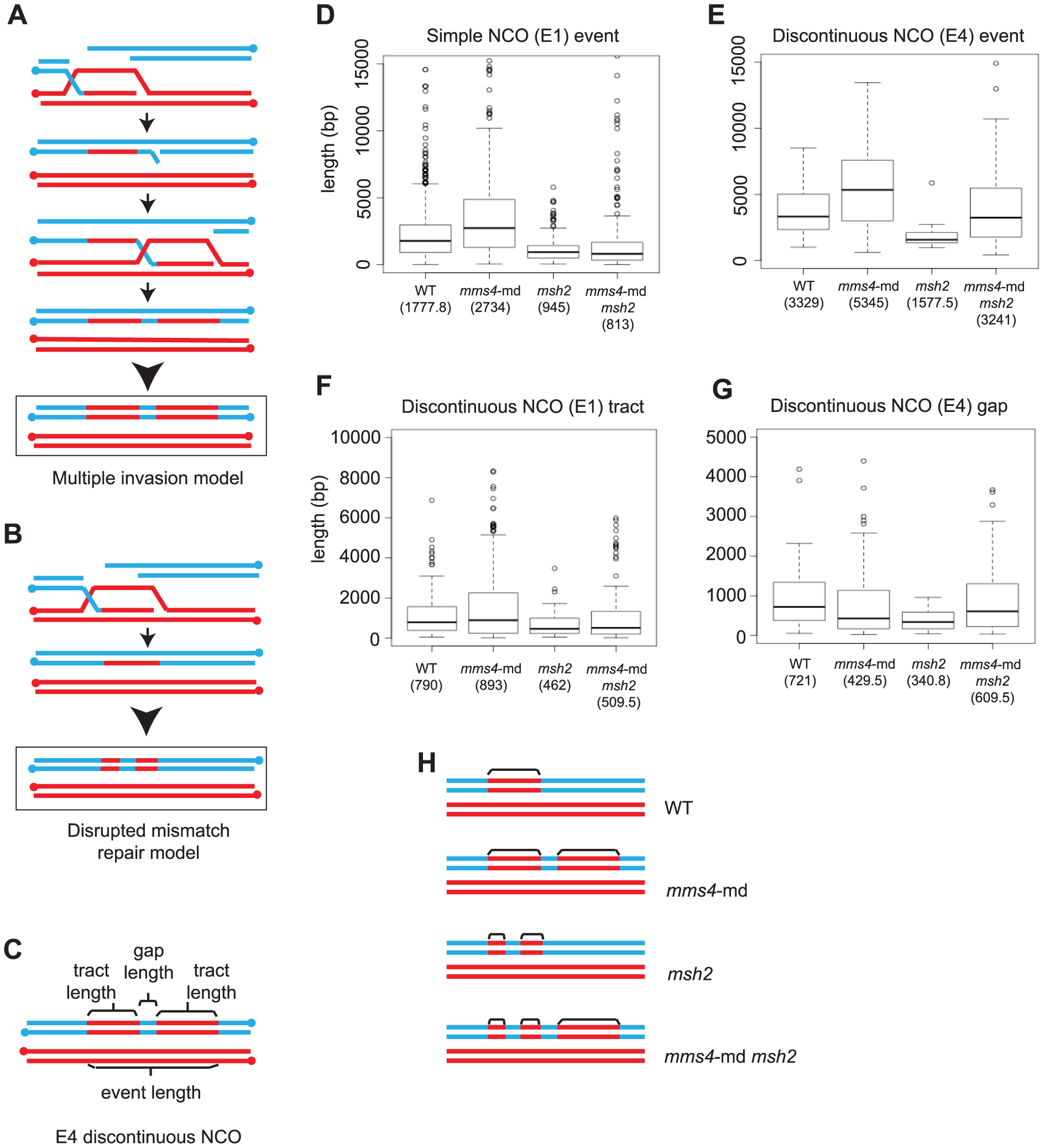 Multiple strand invasions can account for discontinuities seen in <i>mms4-md</i>.