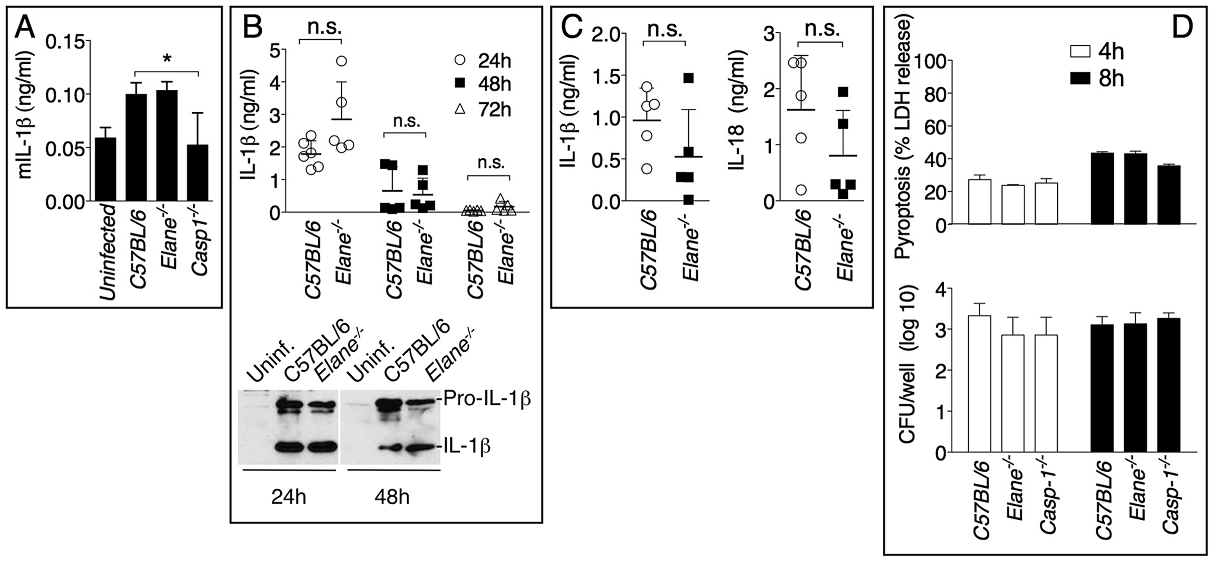 Role of elastase in IL-1β and IL-18 processing and pyroptosis.