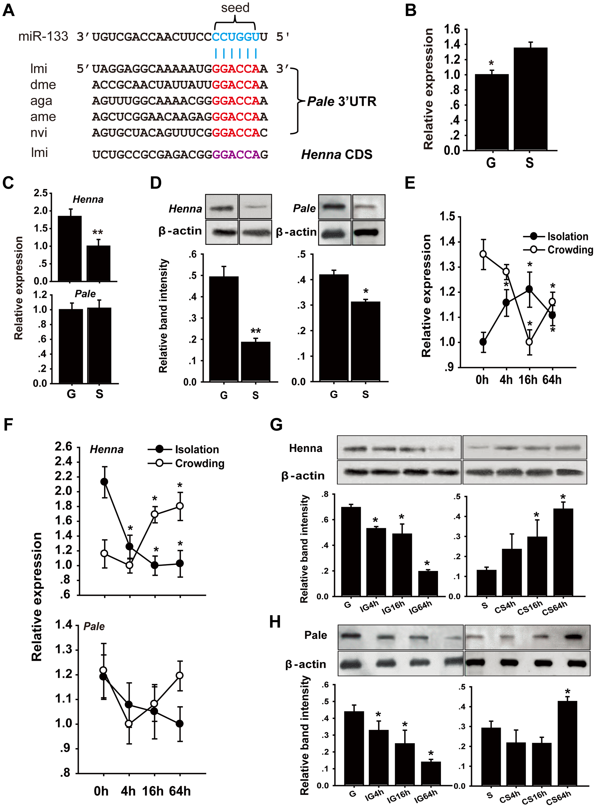 The dopamine pathway may be targeted by miR-133.