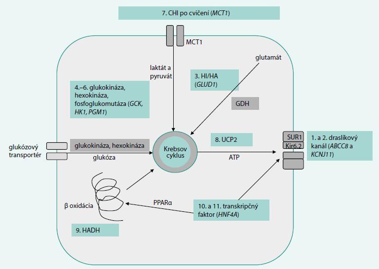 Schéma 1. Schematické znázornenie miesta účinku produktov poškodených génov v B-bunke. Upravené podľa Senniappan 2012 [7]