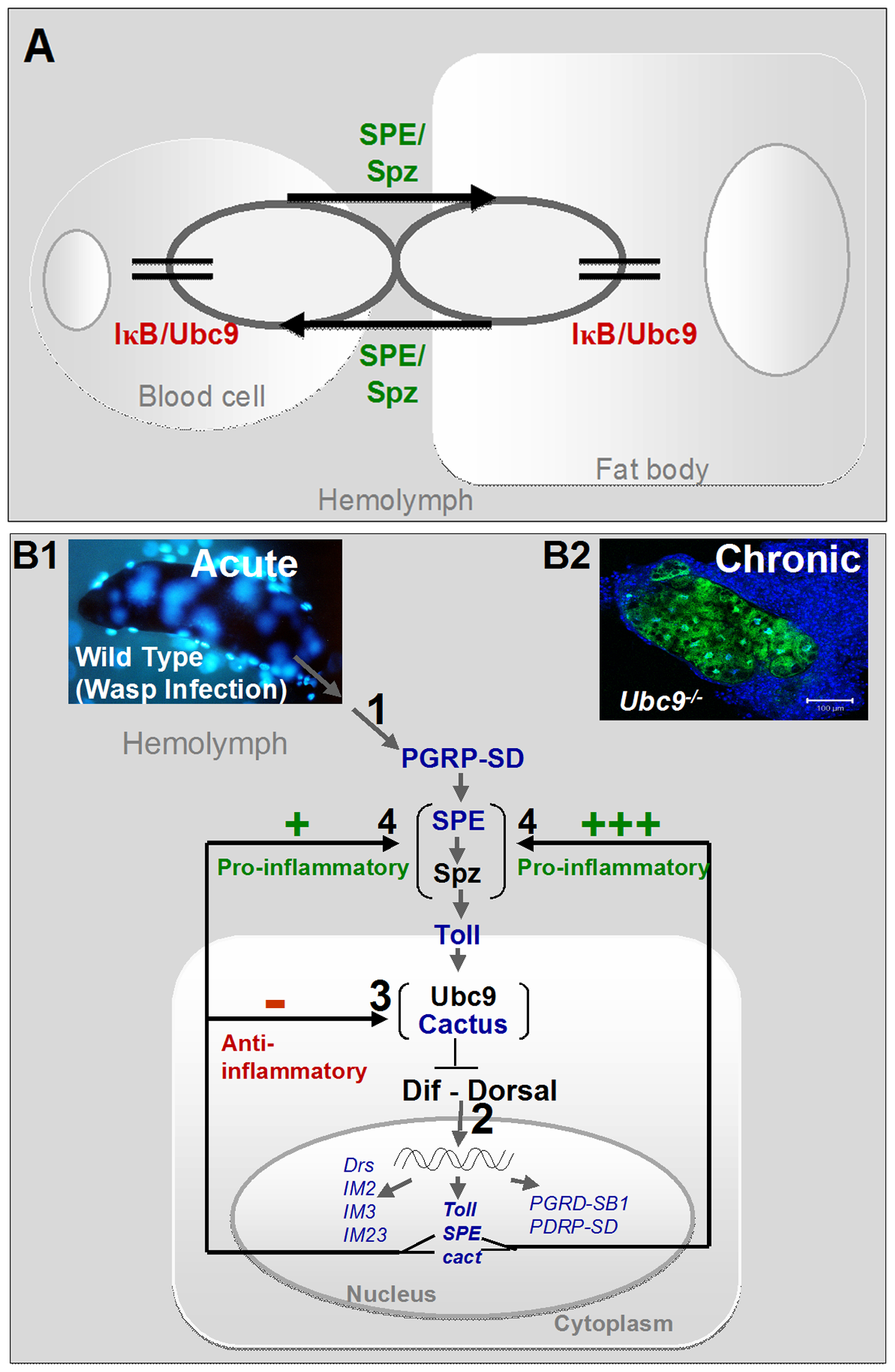 Regulatory immune circuit for host defense against wasp encapsulation.