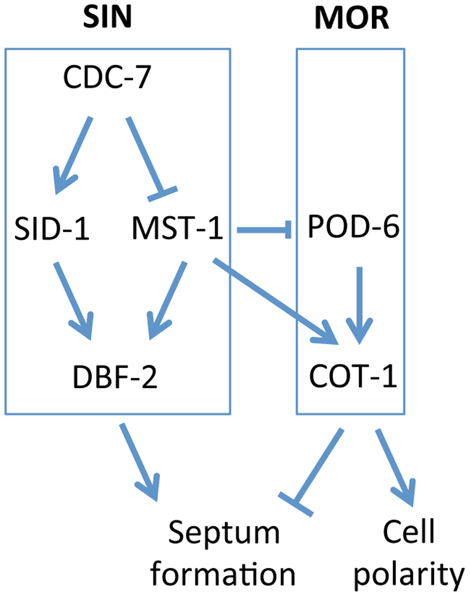Model for the proposed interaction of the SIN and MOR networks during septation in <i>N. crassa</i>.