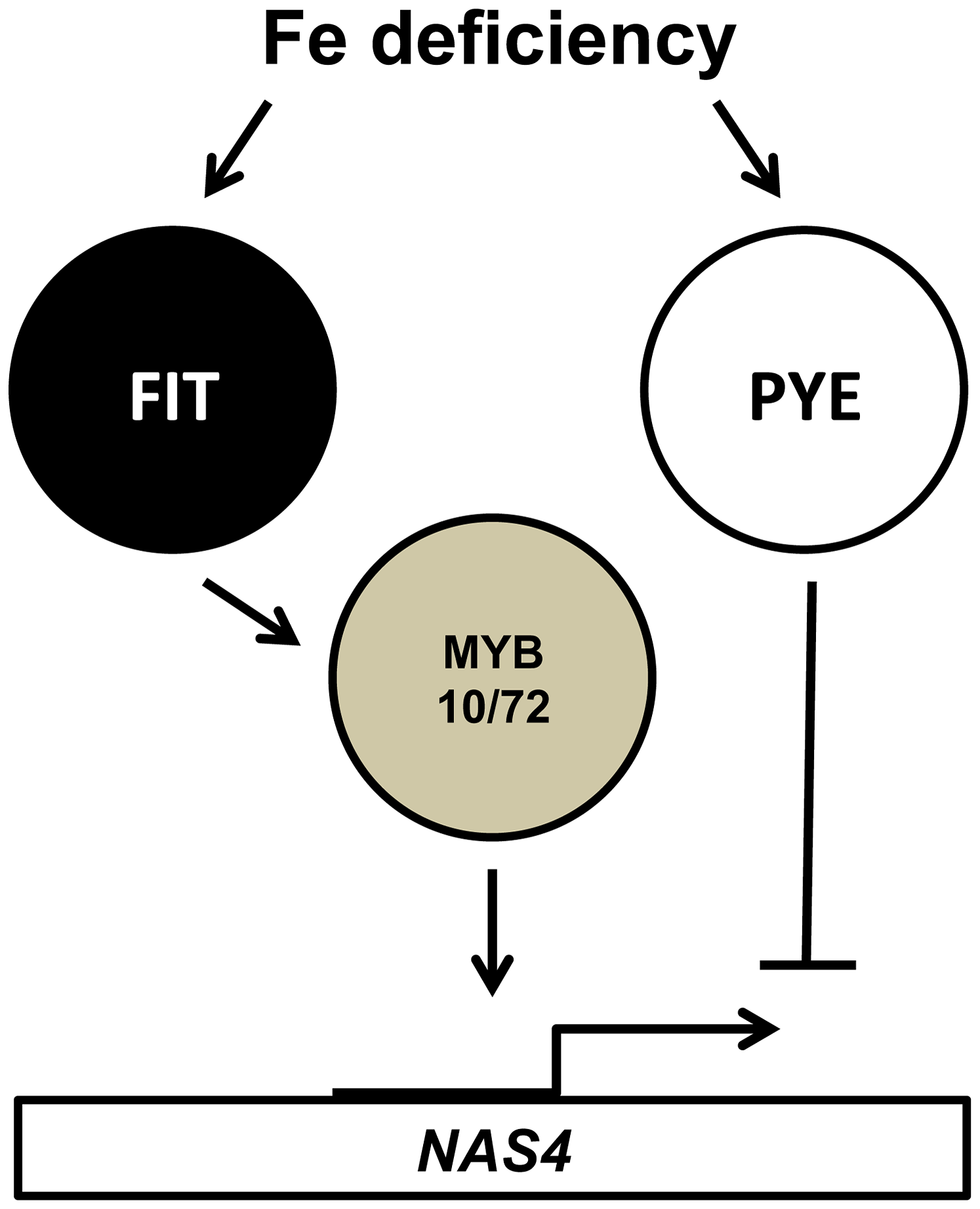 Relationship of MYB10, MYB72, FIT and PYE in the transcriptional response to iron deficiency.