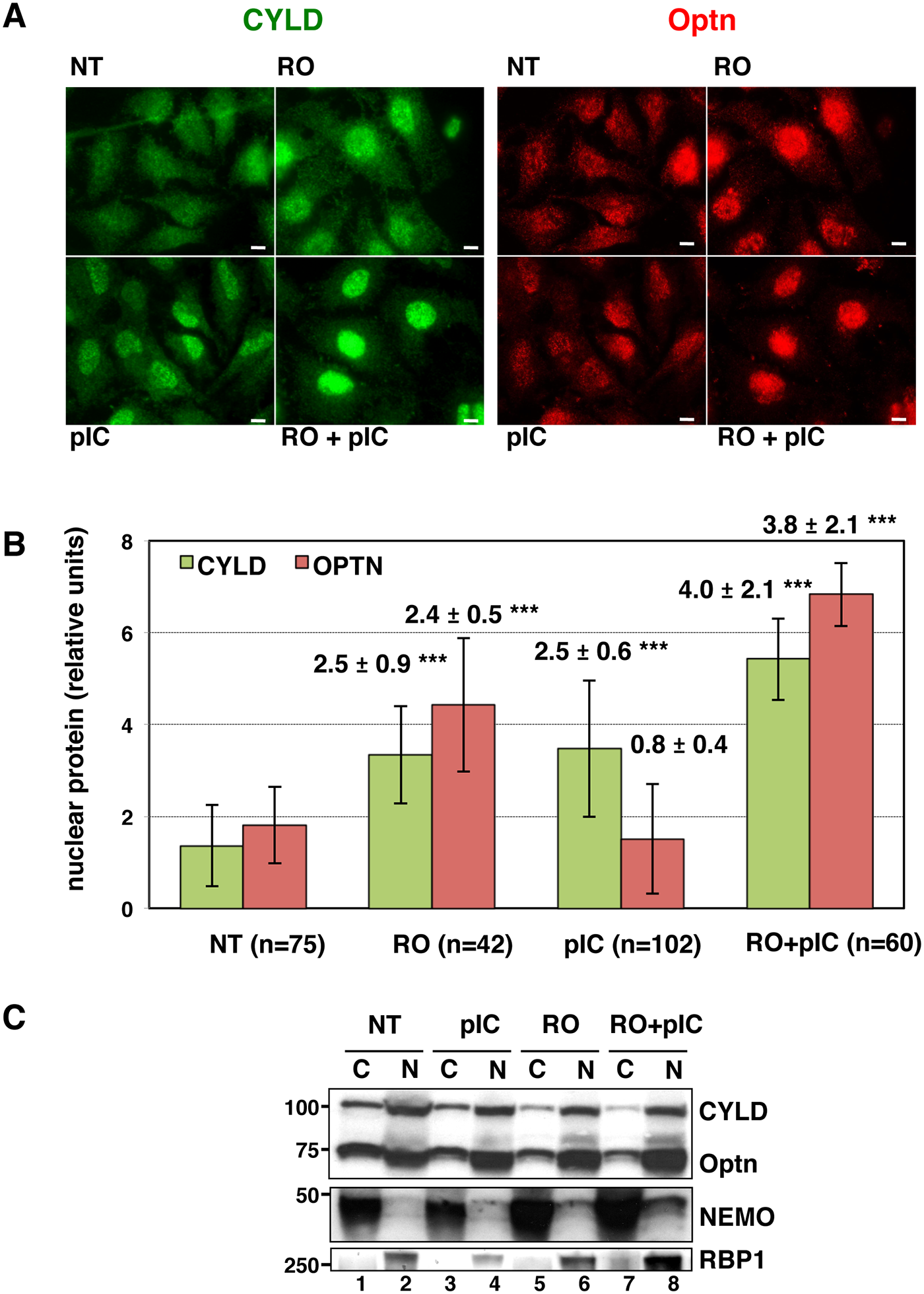 CYLD and Optn accumulate in the nuclei of G2/M synchronized cells.