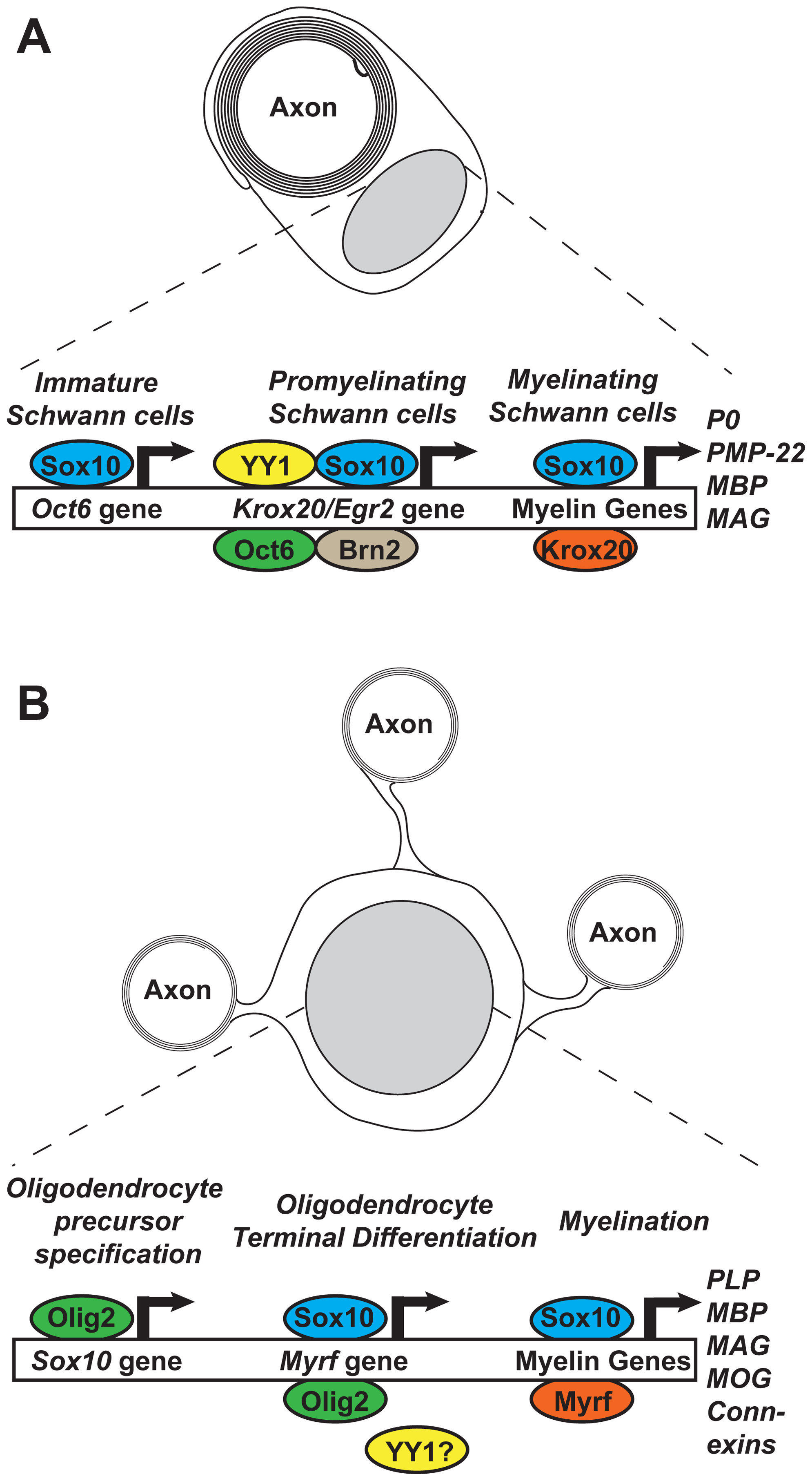 Feed-forward transcriptional networks regulating myelination in Schwann cells and oligodendrocytes.