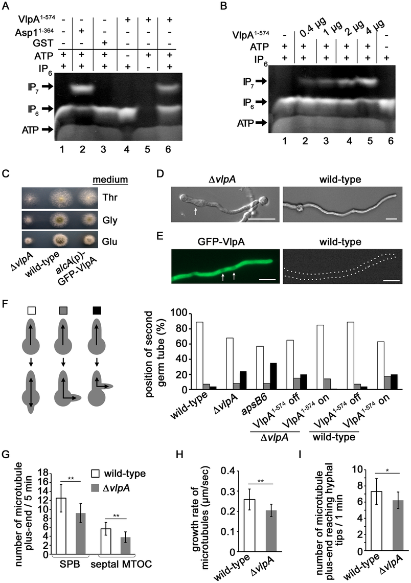 Function of Vip1-like protein <i>A. nidulans</i> VlpA.