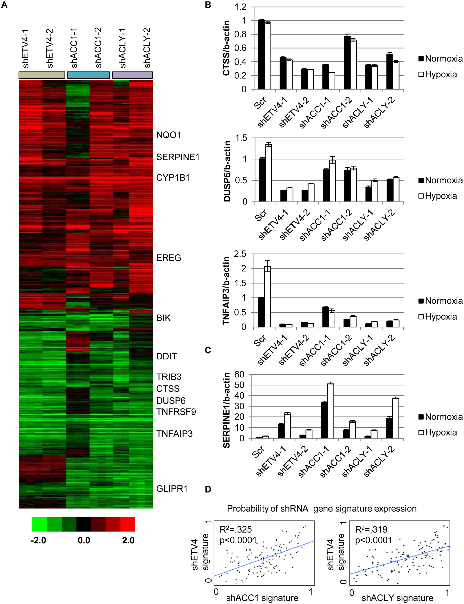 Silencing ETV4 triggers similar gene expression changes as loss of ACC1 or ACLY.