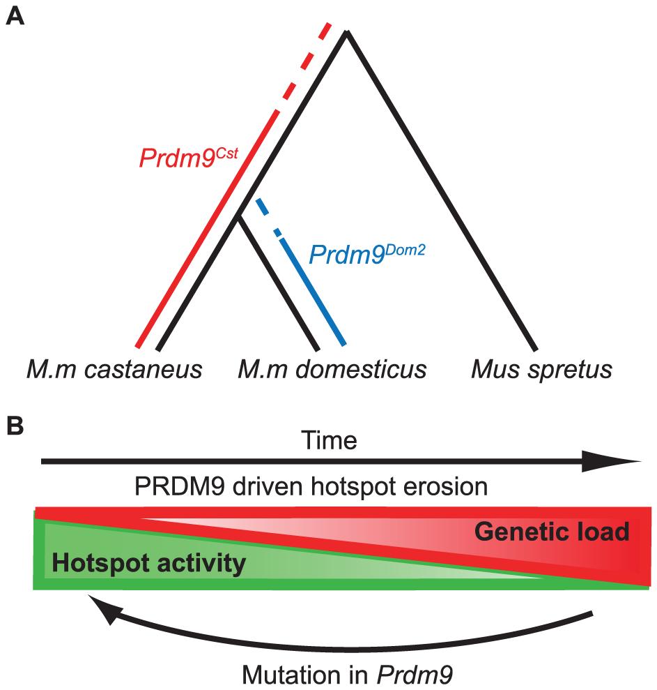 Model for the evolution of <i>Prdm9</i> alleles and hotspot erosion.