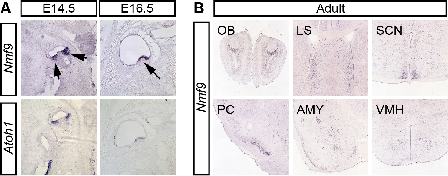 <i>Nmf9</i> expression pattern predicts new sites of function.