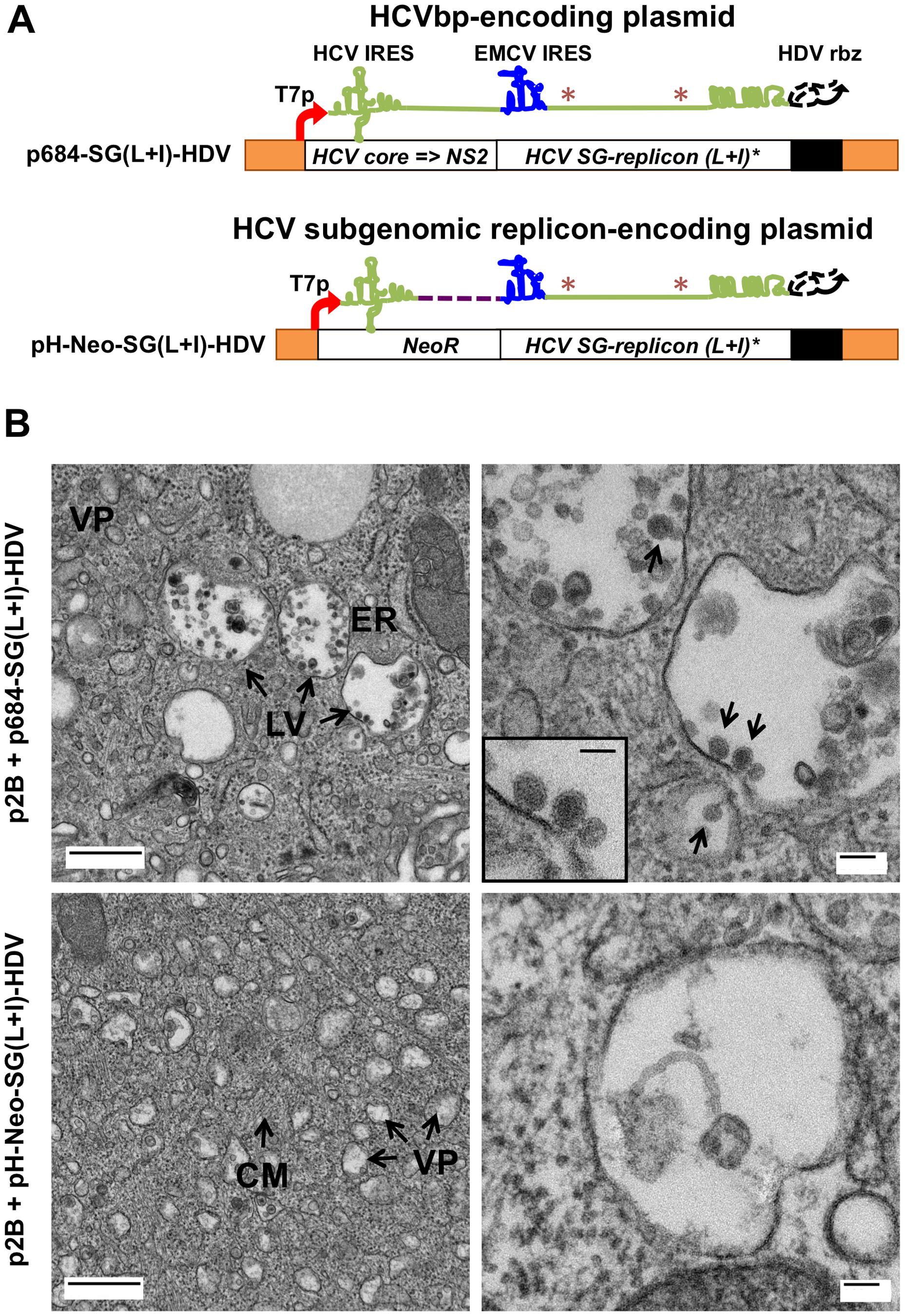 BHK-WNV cells assemble HCV bicistronic particles.