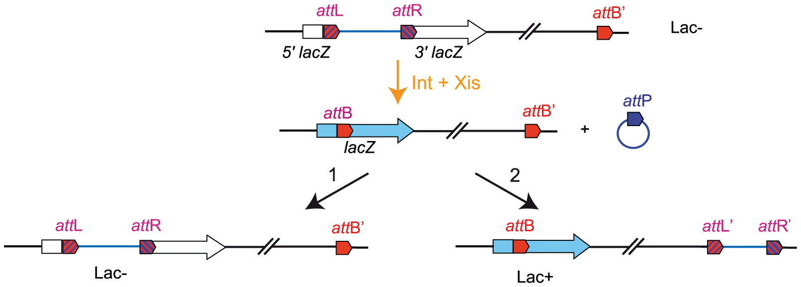 Chromosomal rearrangement by transposition.
