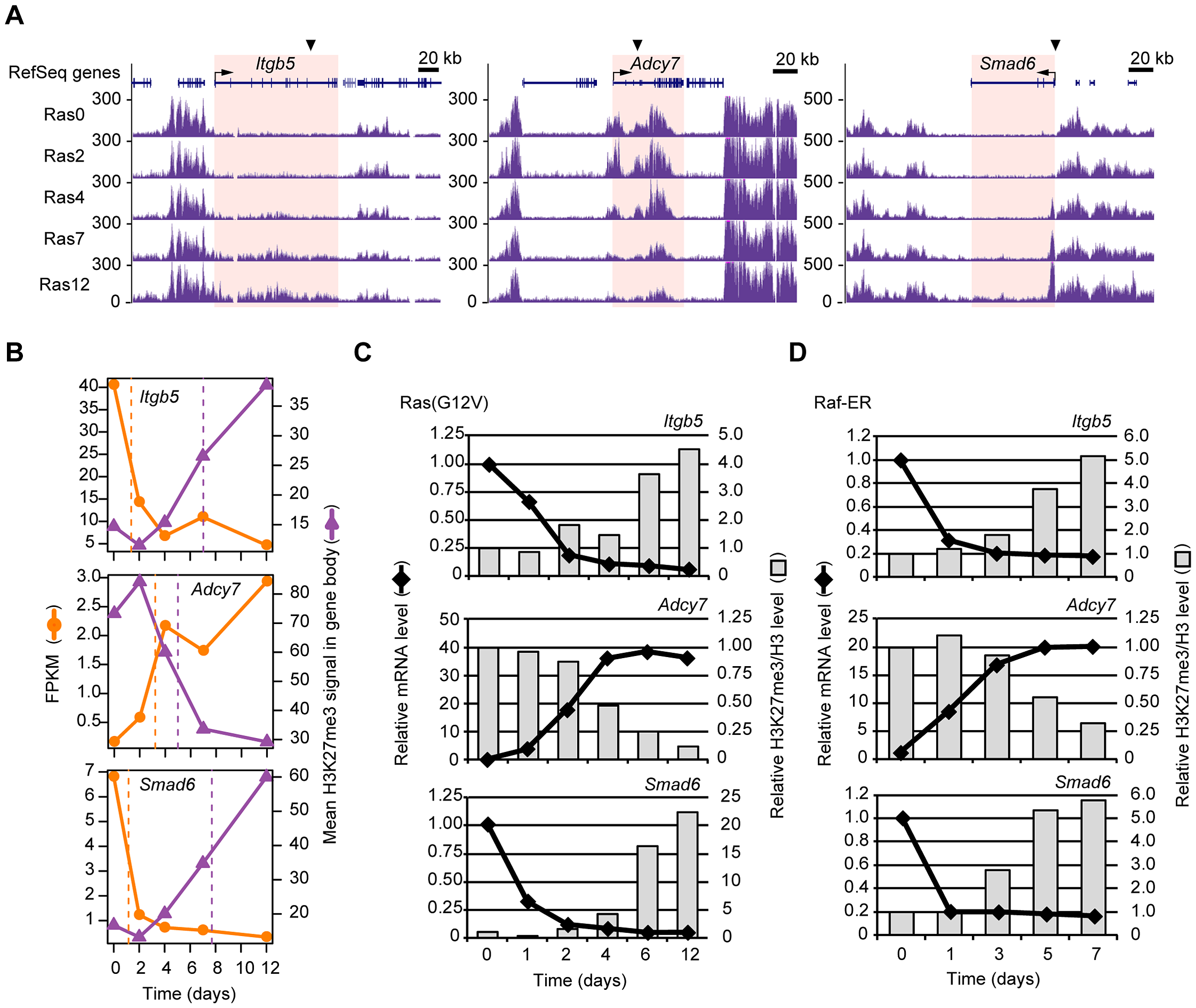 Validation of the temporal sequence of changes in gene expression and H3K27me3 level induced by Ras signaling.