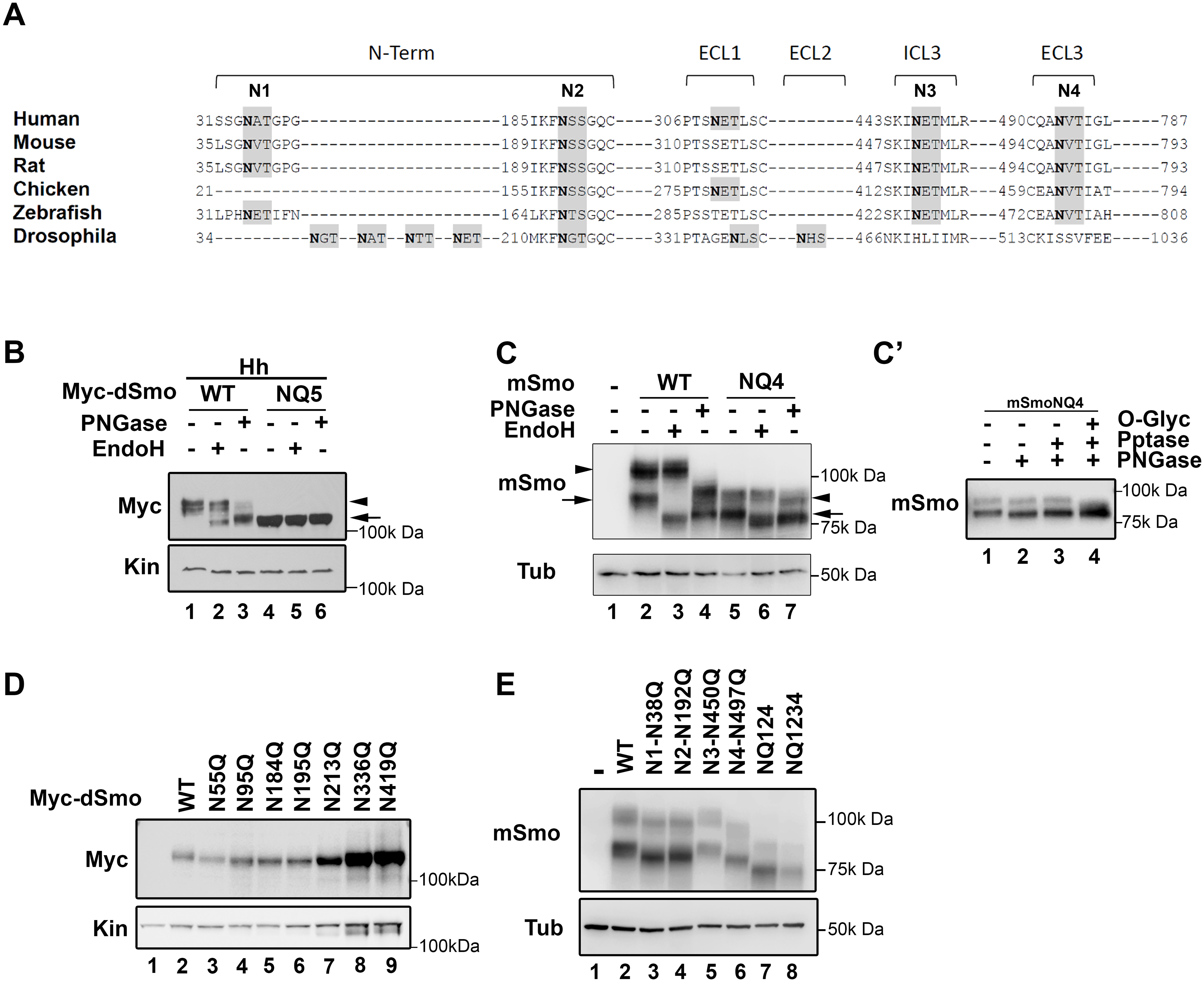 Identification of Smo N-linked glycosylation sites.