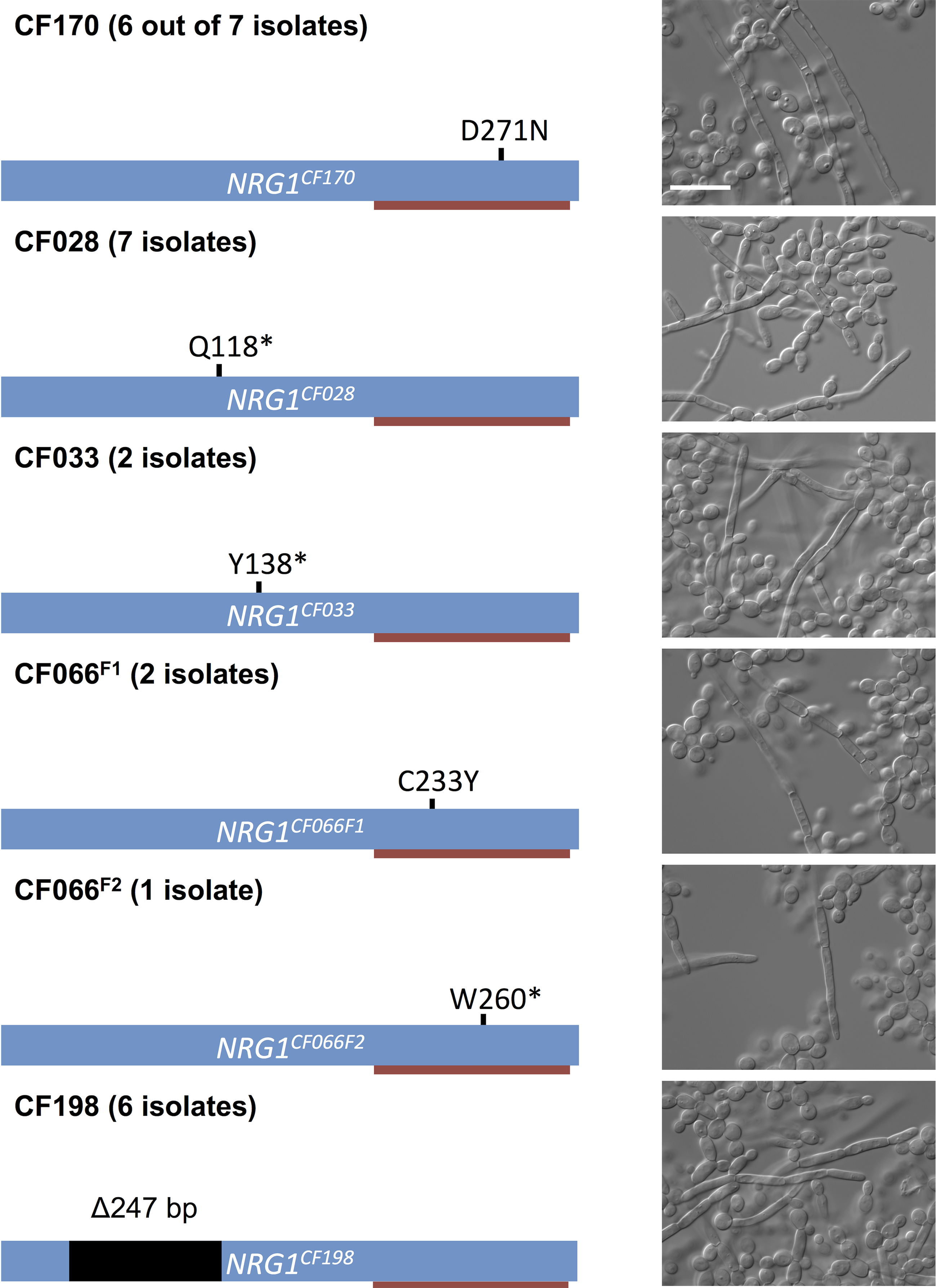 Prevalence of <i>NRG1</i> mutations in filamentous <i>C</i>. <i>albicans</i> isolates from multiple patients.
